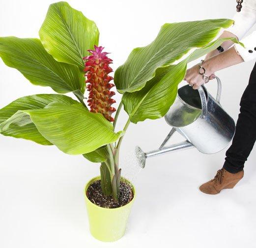 curcuma pianta