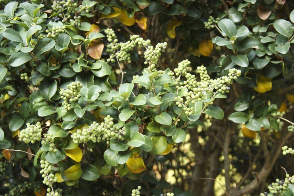Guggulsterone - Commiphora mukul