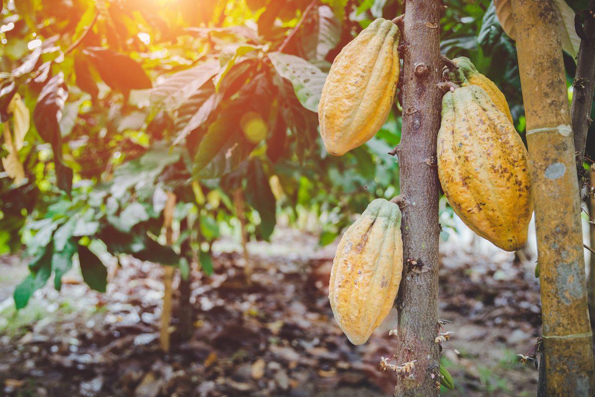 Cacao pianta